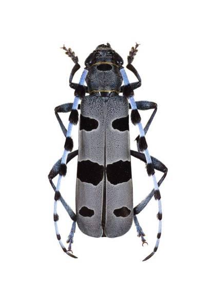 Arthropods Wall Art - Photograph - Rosalia Longicorn Beetle by F. Martinez Clavel