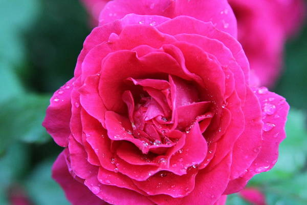 Wall Art - Photograph - Rose 1 by Ernest  Giles