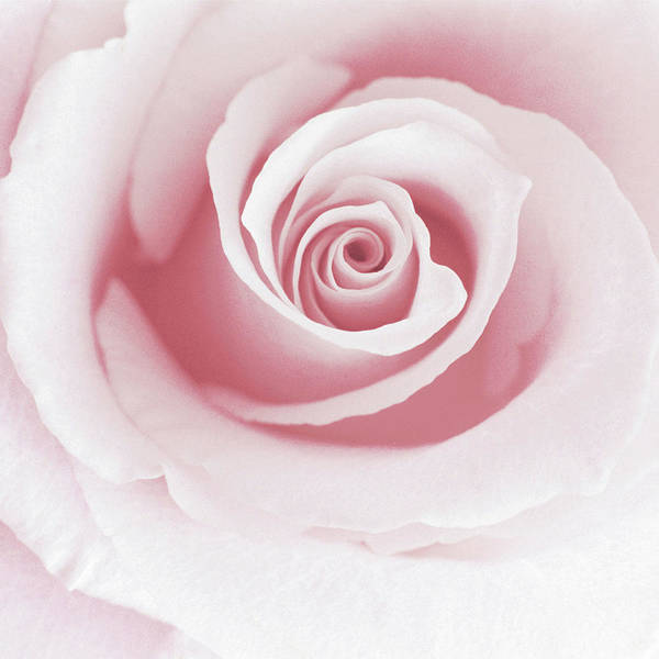 Anna Photograph - Rose Abstract by Anna Miller