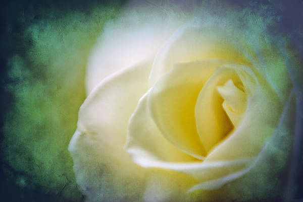 Photograph - Rose Again by Beverly Stapleton