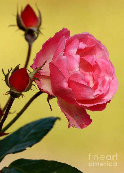 Photograph - Rose And Rose Buds by Sabrina L Ryan