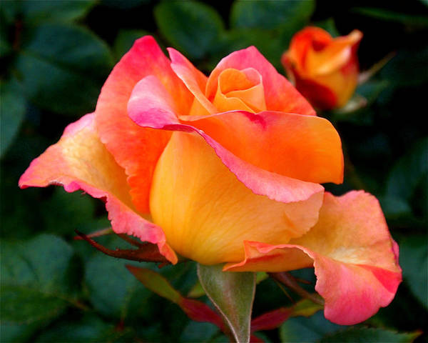 Photograph - Rose Beauty by Rona Black