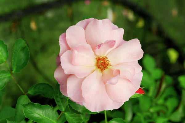 Botticelli Wall Art - Photograph - Rose 'botticelli' by Brian Gadsby/science Photo Library