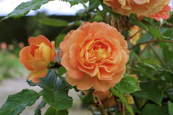 Ose Photograph - Rose Bowled Over (rosa 'tandolgnil') by Neil Joy