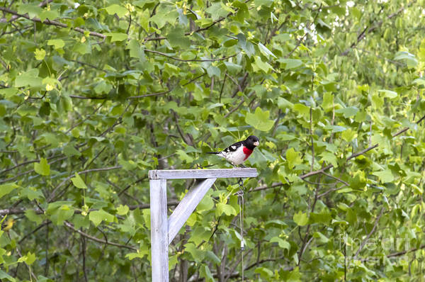 Photograph - Rose-breasted Grosbeak by Michael Waters