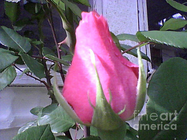 Photograph - Rose Bud by Catherine Lott