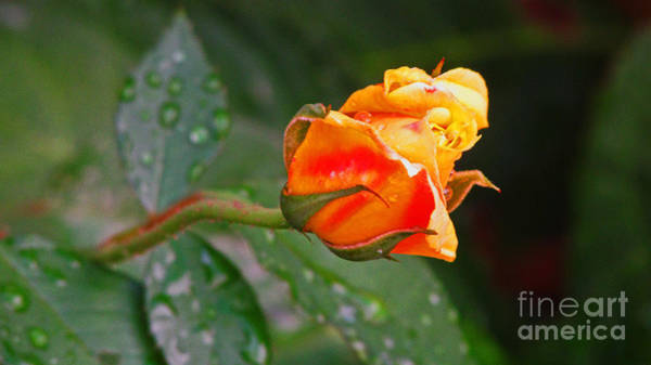 Wall Art - Photograph - Rose Bud by Debbie Parker