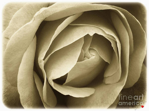 Photograph - Rose Centre by Abbie Shores