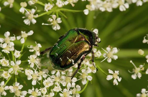 Wall Art - Photograph - Rose Chafer by Bob Gibbons/science Photo Library
