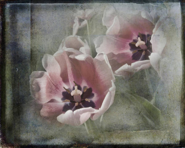 Holland Mi Wall Art - Photograph - Rose Colored Tulips by Evie Carrier