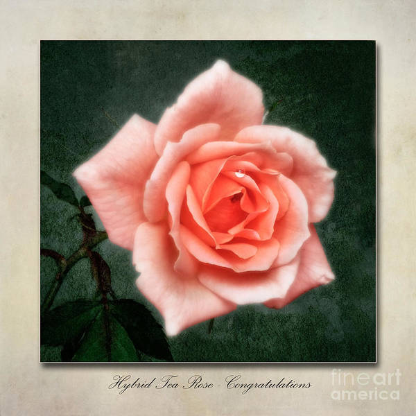 Wall Art - Photograph - Rose Congratulations by John Edwards