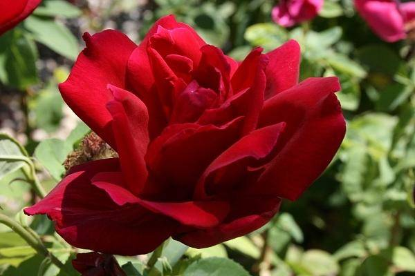 Photograph - Rose by Cynthia Marcopulos