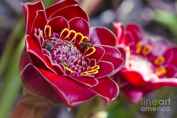 Photograph - Rose De Porcelaine by Sharon Mau