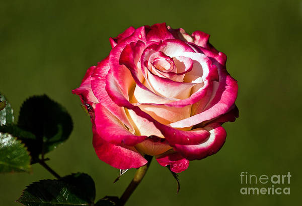 Photograph - Rose Dick Clark by Kate Brown