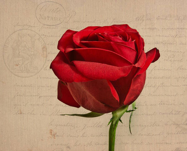 Red Roses Photograph - Rose En Variation - S2at03a by Variance Collections