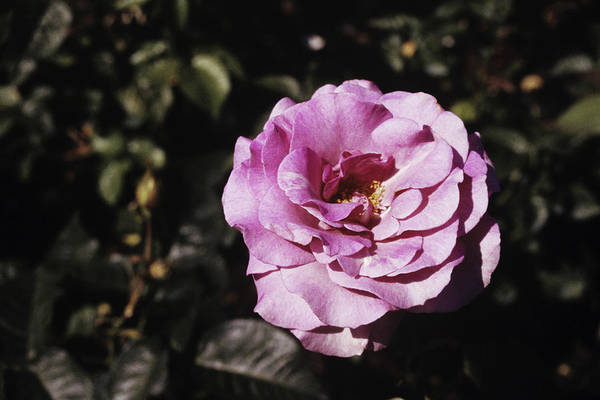 Perfume Photograph - Rose Flower 'melody Perfume' by Donald R Wright/science Photo Library