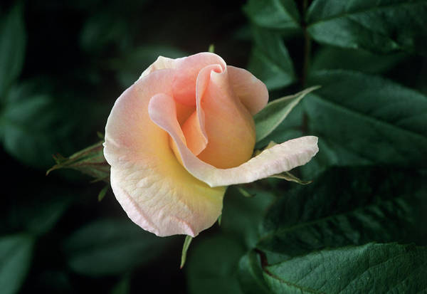 Wall Art - Photograph - Rose Flower (rosa 'sally Holmes') by Tony Wood/science Photo Library