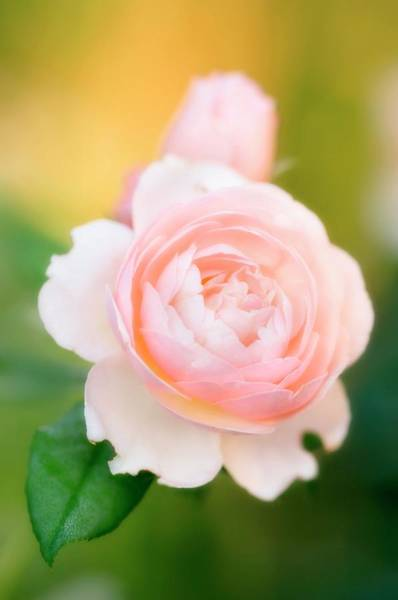 Hybrid Rose Photograph - Rose Flowers (rosa Hybrid) by Maria Mosolova/science Photo Library