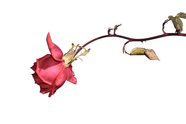 Photograph - Rose For Isabel by Goyo Ambrosio