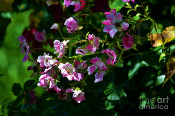 Photograph - Rose Garden 2 by Susanne Van Hulst