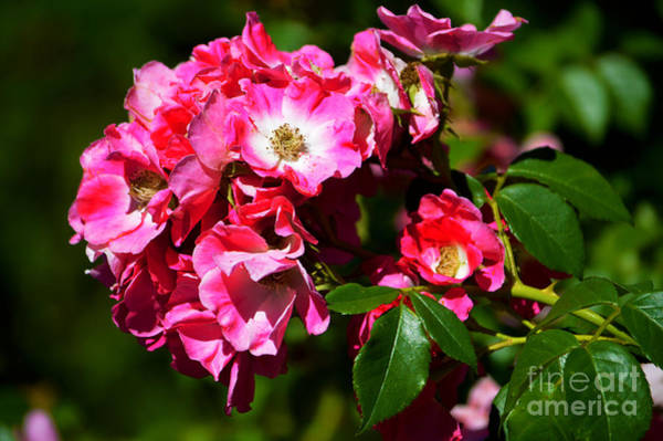 Photograph - Rose Garden 4 by Susanne Van Hulst