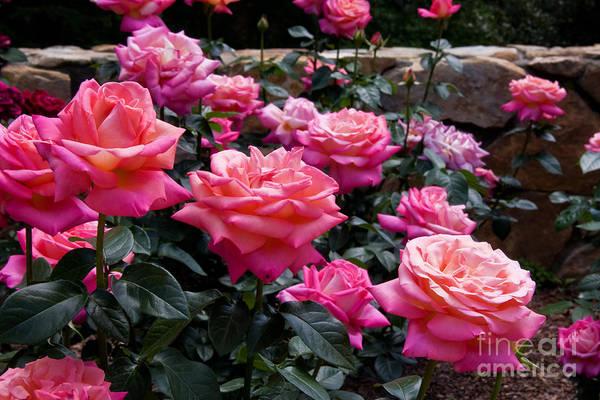 Photograph - Rose Garden by Jill Lang