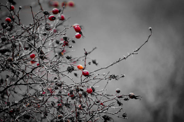 Photograph - Rose Hip Red by Roxy Hurtubise