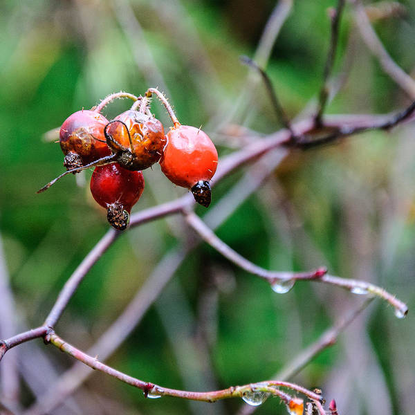 Photograph - Rose Hip Wet by Roxy Hurtubise