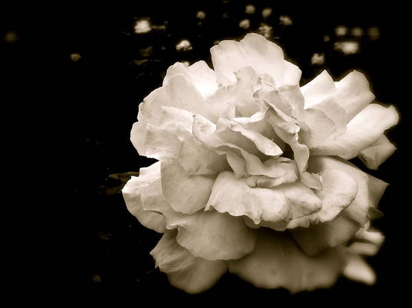 Photograph - Rose I by Kim Pippinger
