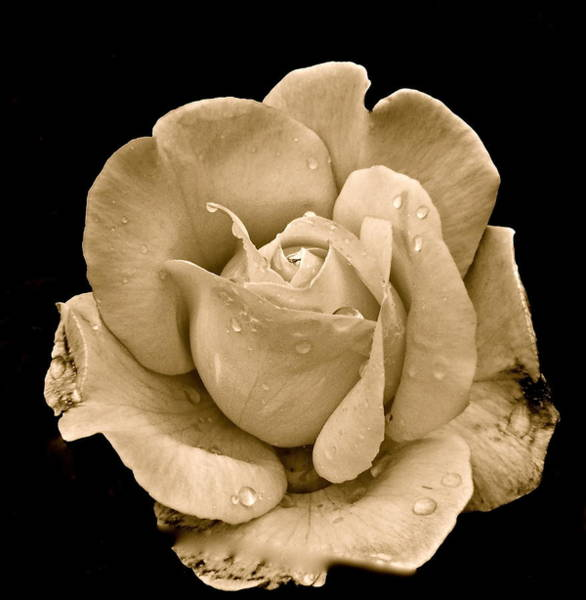 Photograph - Rose II by Kim Pippinger