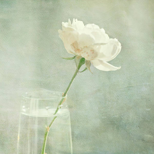 Freshness Photograph - Rose In A Vase by Jill Ferry