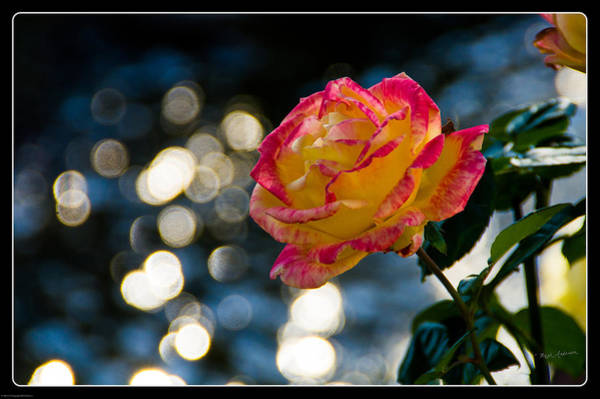 Bokah Photograph - Rose In Dappled Afternoon Light by Mick Anderson