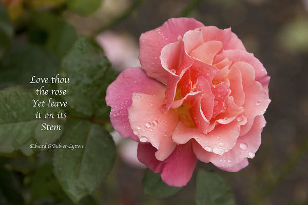 Photograph - Rose In The Rain by Penny Lisowski