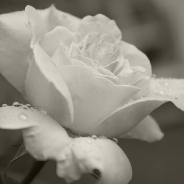 Photograph - Rose In The Rain by Sharon Popek
