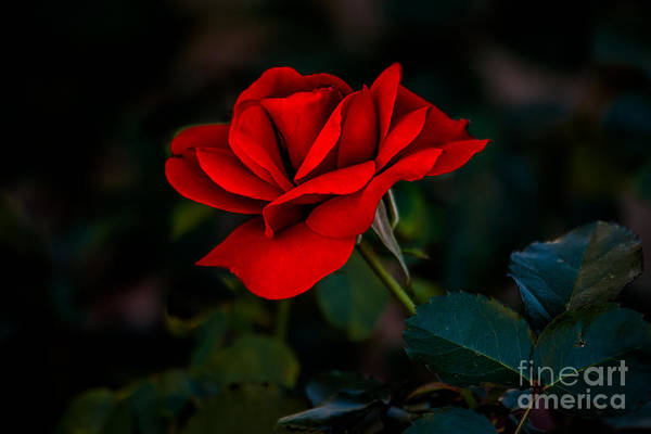Rosaceae Wall Art - Photograph - Rose Is A Rose by Robert Bales