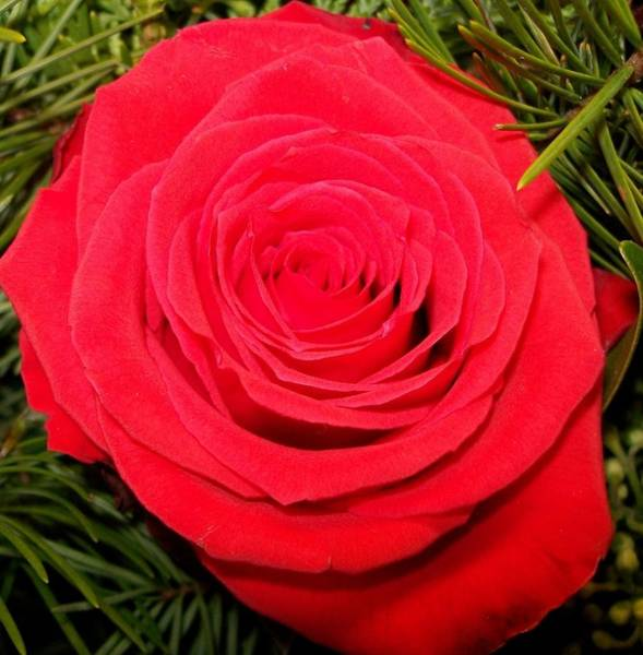 Photograph - Rose Is A Rose  by Sharon Duguay