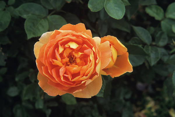 Wall Art - Photograph - Rose by Jim D Saul/science Photo Library