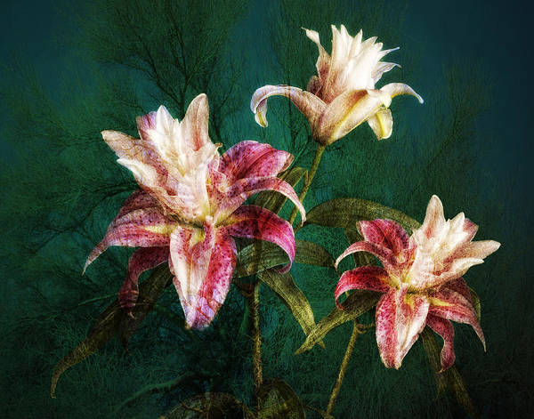 Photograph - Rose Lily Number Three by Bob Coates