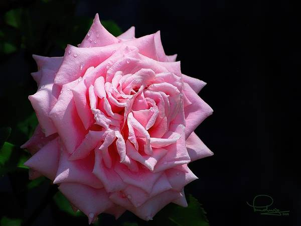Photograph - Rose by Ludwig Keck