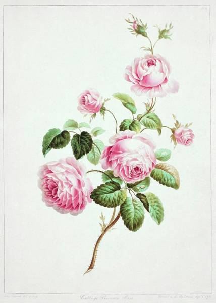 Wall Art - Photograph - Rose by Natural History Museum, London/science Photo Library