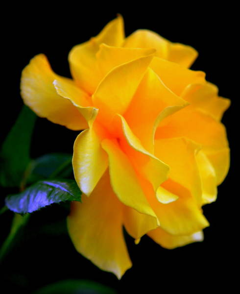 Passionate Photograph - Rose Of Cleopatra by Karen Wiles