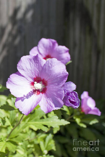 Photograph - Rose Of Sharon - 1 by Tom Doud