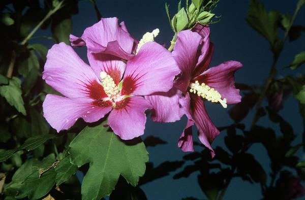 Rose Of Sharon (hibiscus Syriacus) Art Print