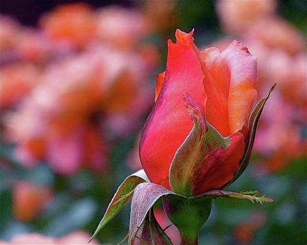 Photograph - Rose On Rose by Rona Black