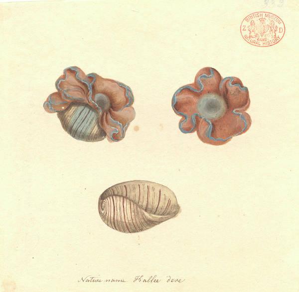 Dicot Wall Art - Photograph - Rose-petal Bubble Shell by Natural History Museum, London