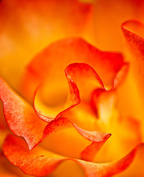 Photograph - Rose Petals Closeup by  Onyonet  Photo Studios