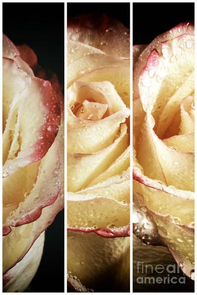 Photograph - Rose Petals Panels by John Rizzuto