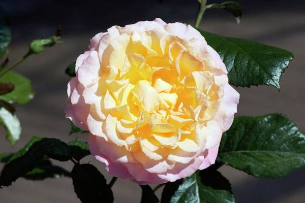 Rose In Bloom Photograph - Rose (pierre Tcherina) Hybrid Tea Rose by Brian Gadsby/science Photo Library
