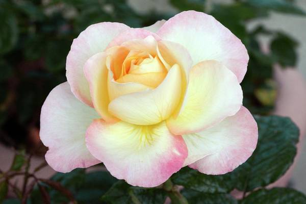 Rose In Bloom Photograph - Rose (pierre Tchernia) Hybrid Tea Rose by Brian Gadsby/science Photo Library