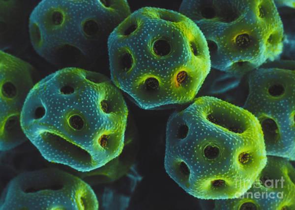 Photograph - Rose Pollen Sem by David M Phillips